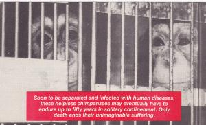 WASHINGTON D.C., 40-60s; Chimpanzees in cage, Test subjects, People for the Ethi