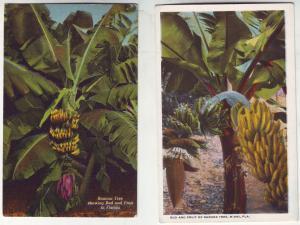 P422 JL 2 old postcard bud and fruit of banana trees florida