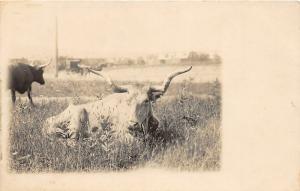 F19/ York? Pennsylvania RPPC Postcard c1910 Longhorn Cattle