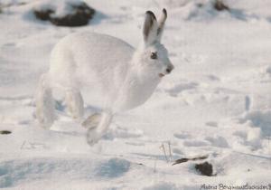 Norwegian Snow Rabbit Norway Postcard