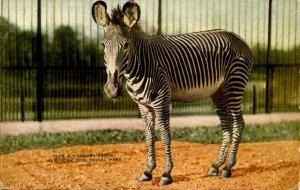 Grevey Zebra