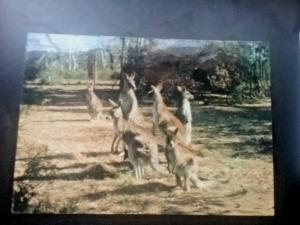 Postcard  Kangaroo Family in The Warrumbungle National Park, Australia. Z1