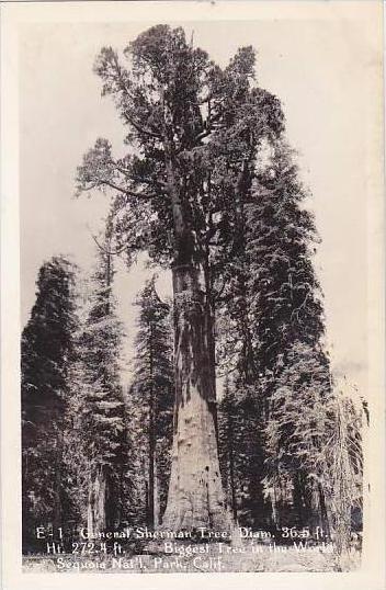 California General Sherman Tree Diam Biggest Tree In The World Sequoia Nat L ...
