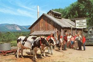 NH - North Conway, Old Maple Sugar House In Operation, Oxen