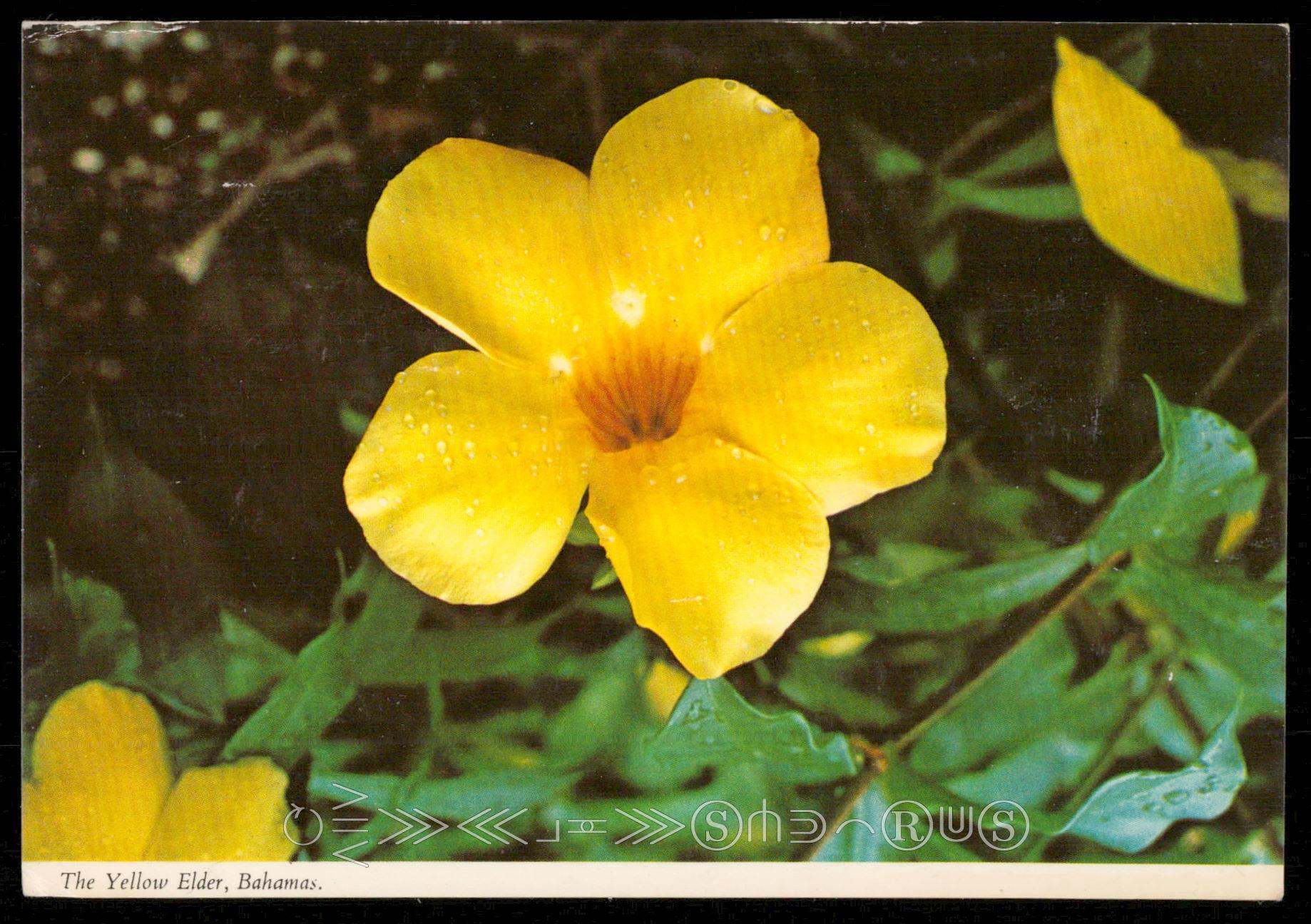 The Yellow Elder Bahamas Hippostcard