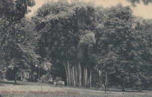 Giant Bamboo , Paradenina Gardens , Ceylon , 1904