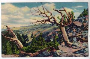 CO - Timberline Trees, Rocky Mountain Nat Park