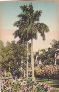 Palm Tree In A Florida Garden Albertype