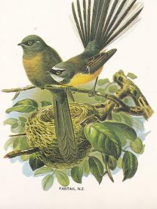 Fantail Insect Eater Maori Bird New Zealand Postcard