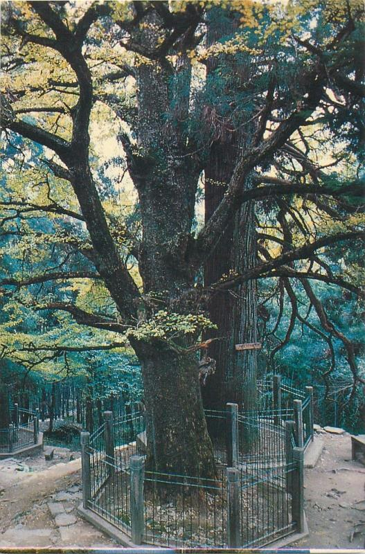 China Mount Lushan three ancient trees