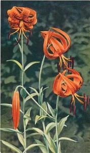 Turk's Cap Lily ( Lilium surerbum ), Chrome
