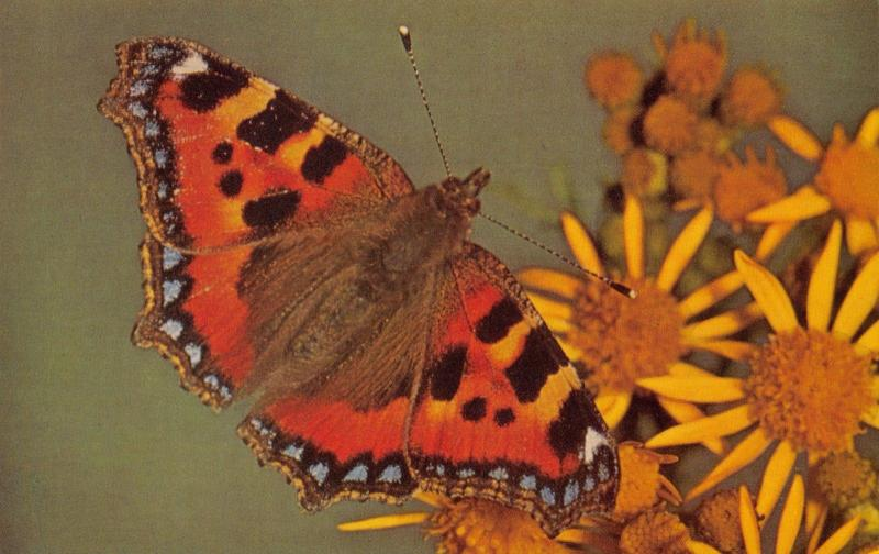 Postcard British Butterflies, SMALL TORTOISESHELL by J. Salmon Ltd #B