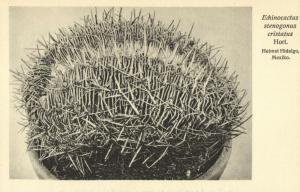 Cactus Cactaceae, Echinocactus Stenogonus Cristatus (1920s) Otto Stoye Postcard