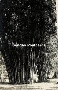 singapore, Bamboo Trees (1920s) RPPC