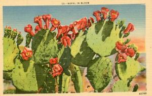 Nopal in Bloom (Desert Flowers)
