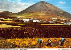 Spain Gathering Vegetables Lanzarote Canary Islands Postcard