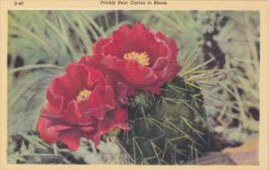 Cactus Prickly Pear Cactus In Bloom 1948 Curteich