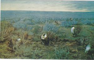Saskatchewan Museum of Natural History, Wascana Park, Sage Grouse, REGINA, Sa...