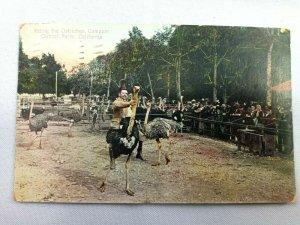 Vintage Postcard 1911 Riding the Ostriches Cawston Ostrich Farm CA California