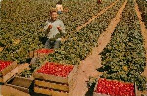 Watsonville California Strawberries Crimson Harvest Crocker Postcard 21-7102