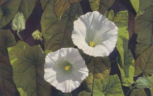 Hooded Bindweed Convolvus Sepium Vintage Flower Postcard