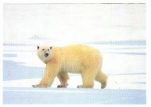 Greenland, 60-80s , Polar Bear