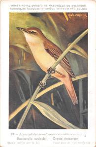 Belgie Museum, Acrocephalus arundinaceus, Great reed warbler