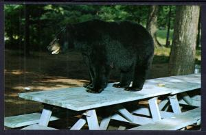 Black Bear on Picnic Table