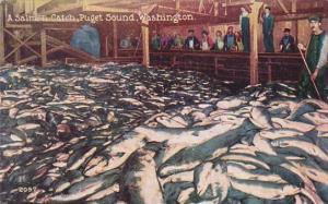 A Salmon Catch Puget Sound Washington