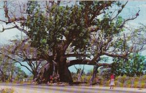 Jamaica Tom Cringle's Cotton Tree Near Spanish Town