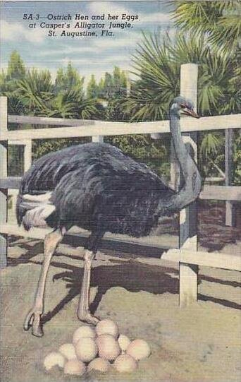 Florida St Augustine Casper´s Alligator Jungle Ostrich Hen & Eggs 1948