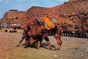 Turkey Deve Guresi Camels Fight Kamellen Kampf Lutte de Chameaux