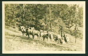 Mountain Sheep JASPER PARK Alberta CANADA Real Photo Postcard RPPC