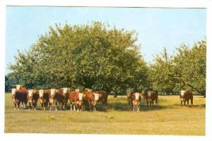 Cattle, Canadian Hereford Association, Calgary, Alberta, Canada, 1940-1960s