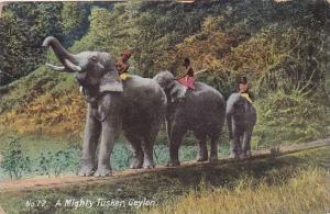 Elephants Ceylon Elephants A Mighty Tusker 1910