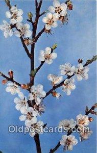 Prunus Armeniaca Linn unused