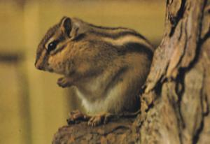 Red Chipmunk at Marwell Winchester Zoo Endangered Species Postcard