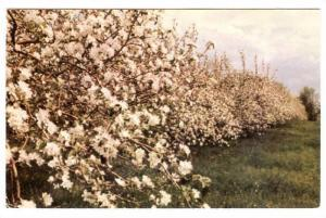 The Apple Trees in Blossom,  Quebec,  Canada,  PU_ 1986