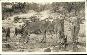 africa, African Game, ZEBRA, Wild Life (1950s) RPPC