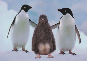 Antarctica Adelie Penguins Adeliepinguine Cuddling Bird German Postcard