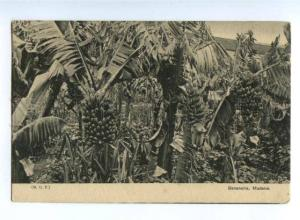 155637 PORTUGAL MADEIRA Bananeira Vintage postcard