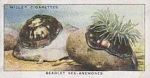 Wills Vintage Cigarette Card The Sea-Shore No 41 Beadlet Sea Anemones  1938