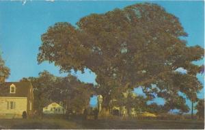 WYE OAKS Maryland - Famous WYE OAK & SCHOOLHOUSE - TREE GONE 1950s / EASTON