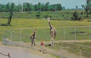 Two Giraffes at Granby Zoological Garden, Granby, Quebec, Canada, 40-60´s