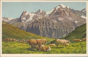 Alpweide bei Murren cows Switzerland
