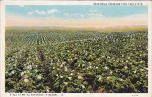 Maine Field Of Maine Potatoes In Bloom Curteich