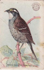 White-throated Sparrow - Useful Birds 1915 - Arm & Hammer Trade Card