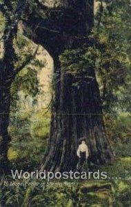 Large Cedar, Stanley Park Vancouver British Columbia, Canada 1908