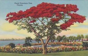 Royal Poincioana Tree Florida Curteiclh
