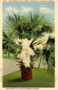 FL - Cabbage Palm